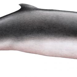 Cachalot pygmée, Illustration de Maëly